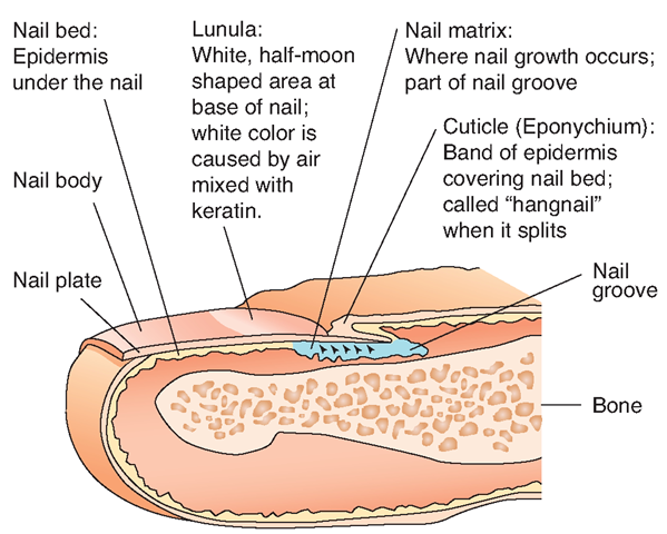 Parts Of A Fingernail