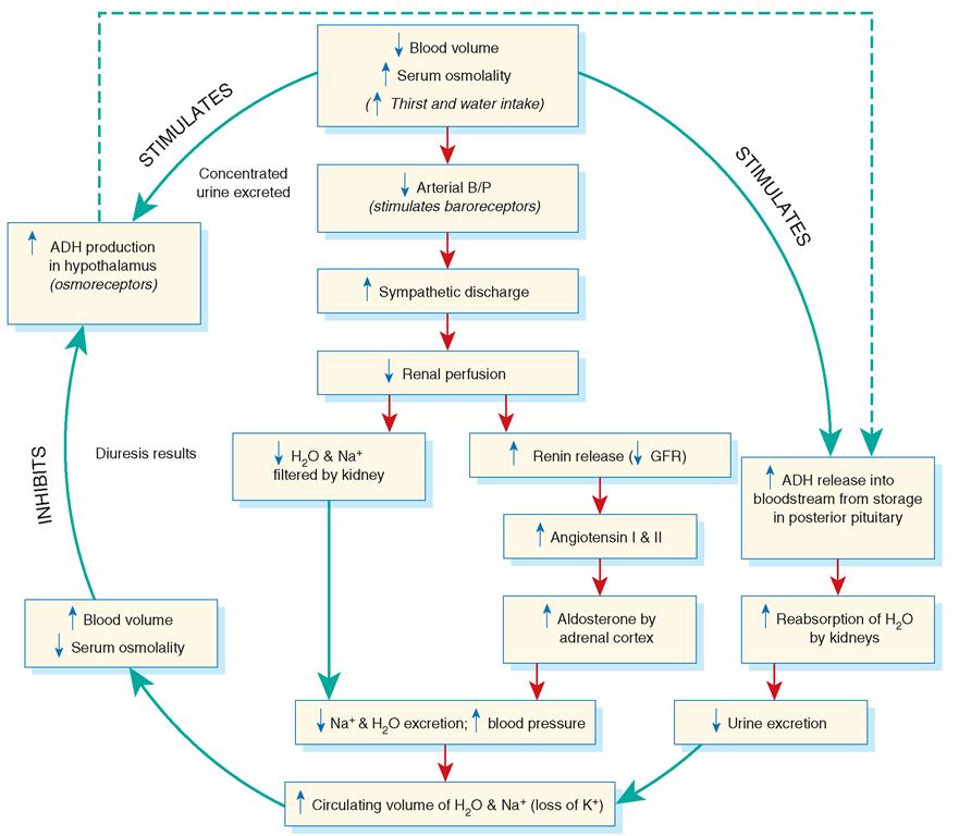 Fluid regulation cycle, including antidiuretic hormone (ADH) and the renin-angiotensin-aldosterone (RAA) system.